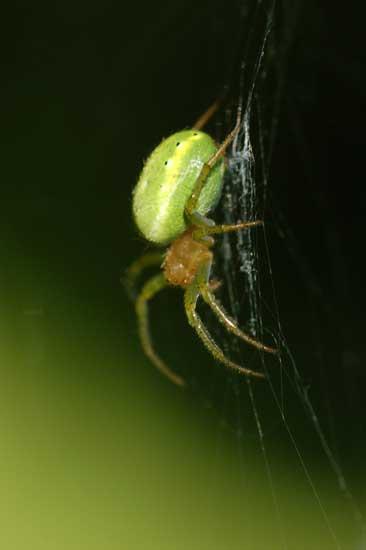 Female spider Araniella cucurbitina