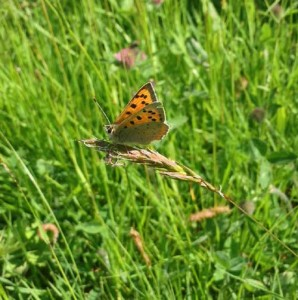 Small Copper butterfly, Castle Meadows Abergavenny
