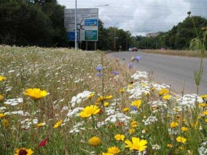 Roadside verge planted with pollinator-friendly flowers 2014.  Copyright Bees for Development