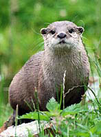 Otters are present on the Gwent Levels along with other rare species