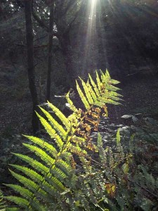 Ferns in  the arboretum at Cefn Ila
